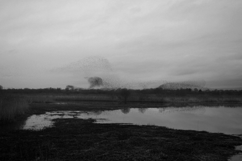 Starlings_Black_White